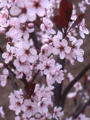 Reasons for planting an ornamental plum tree - by Rex Trulove - Helium